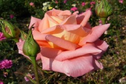 розы на грядке