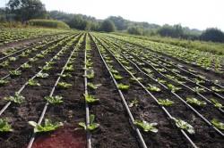 Выращивание пекинской капусты в открытом грунте