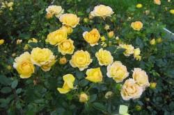 Цветение кустовых роз