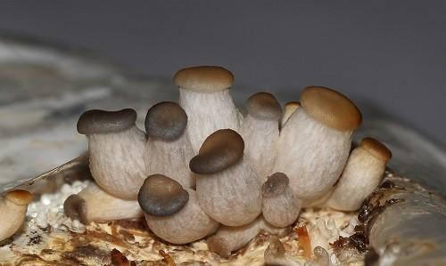 выращивание грибов своими руками