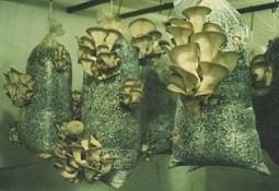 правильное выращивание белых грибов из мицелия