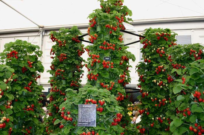 Пример выращивания клубники на
