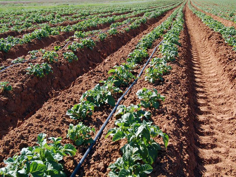 Пример выращивания картофеля