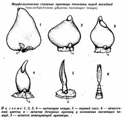 Схема строения луковицы