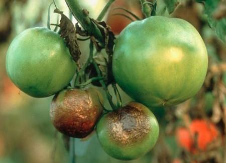 Пример фитофтороза на плодах томатов