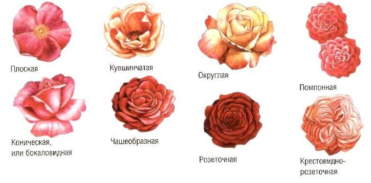 Группы садовых роз
