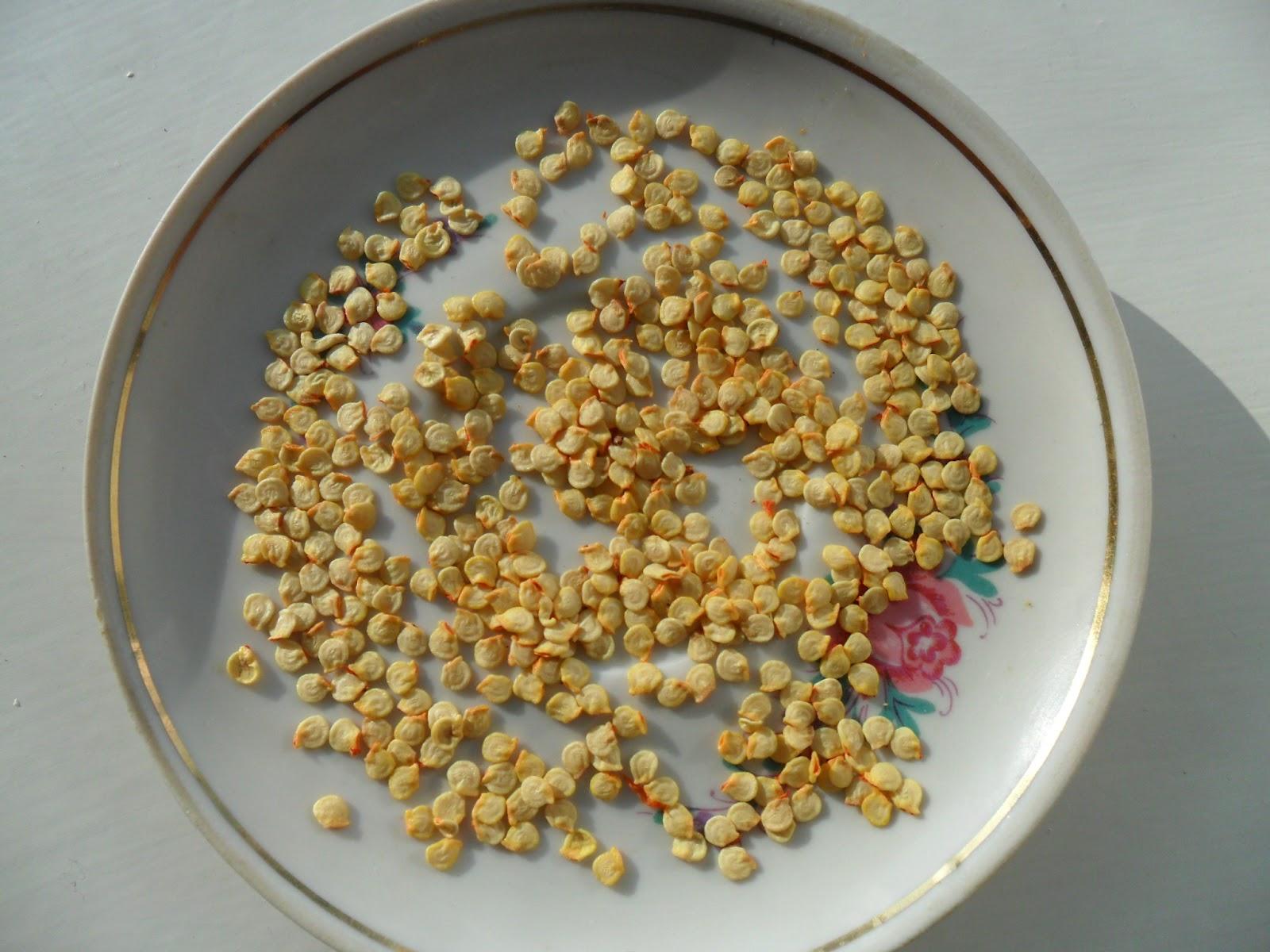 Как правильно вырастить перец в теплице и на подоконнике