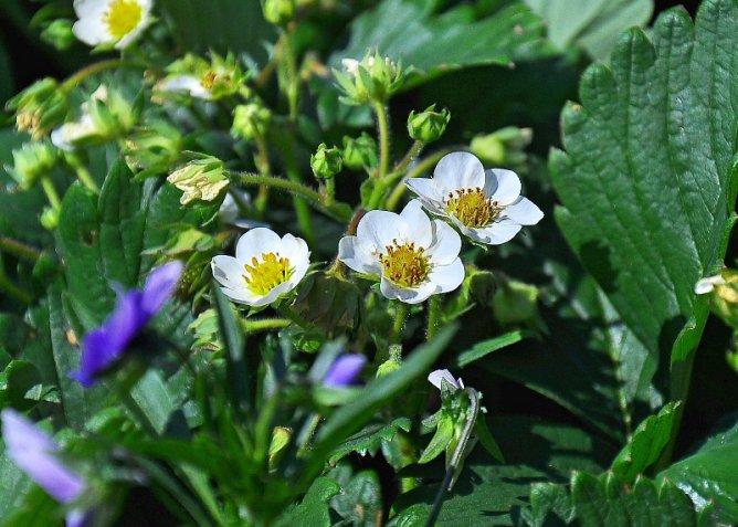 В период цветения полив желательно