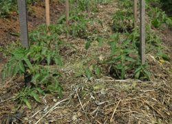 Мульчирование поверхности почвы в теплицах, несомненно, способствует получению повышенного урожая томатов, но если вкупе с ним применять еще и своевременное удаление (обрезание или обламывание) пасынков, то помидоры принесут более качественный урожай