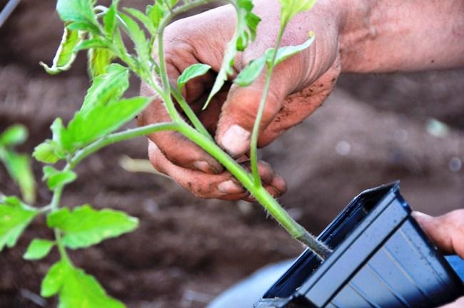 Удобрение помидоров