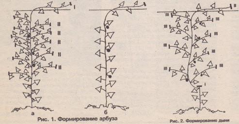 Схема формирования арбуза в
