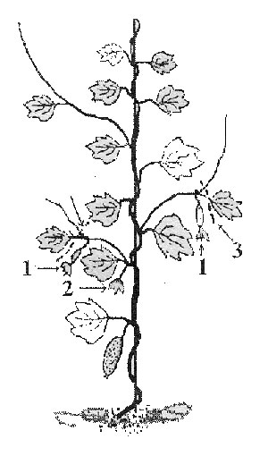 Схема обрезки огурцов