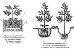 Схема посадки рассады томатов в грунт