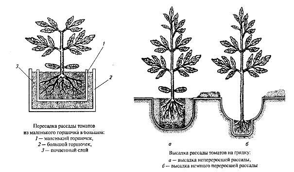 Схема посадки рассады томатов
