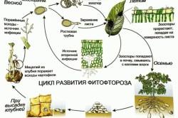 Схема цикла развития фитофтороза