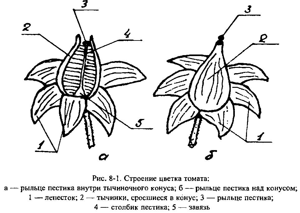 Схема строения цветка томатов