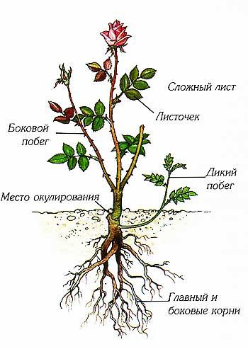 Строение чайно-гибридной розы