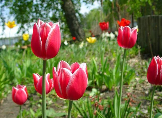 Цветник из тюльпанов: посадка, выращивание, хранение луковиц