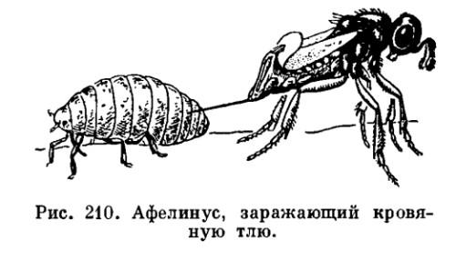 Афелинус-враг тли