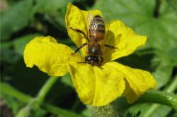 Опыление растений пчелами