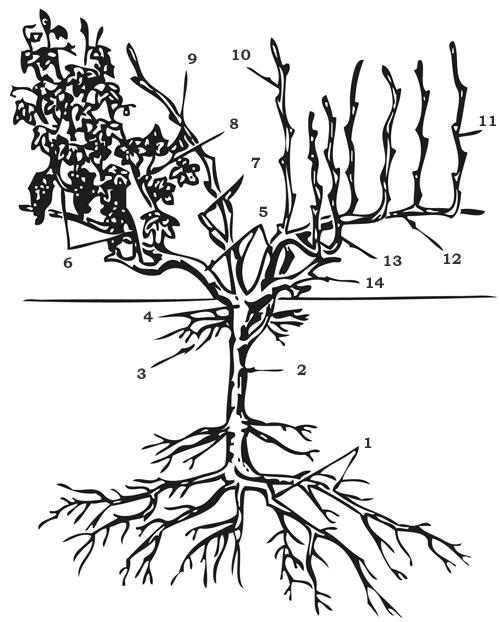 Схема строения виноградной