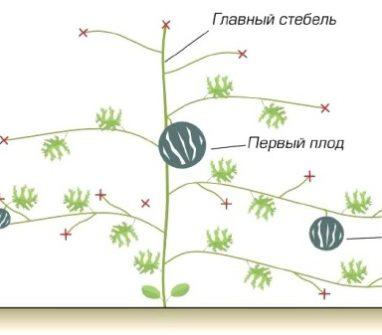 Выращивание бахчевых культур в