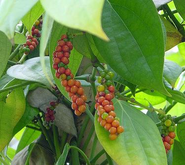 Перец горошек выращивание в домашних условиях 92