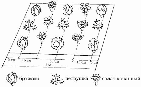 Схема посадки петрушки с