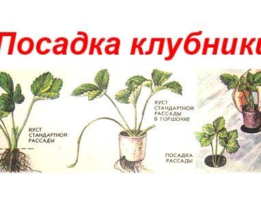Как вырастить хорошую клубнику на даче