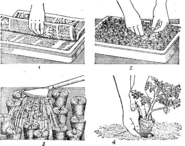 Посев семян томата и пикировка