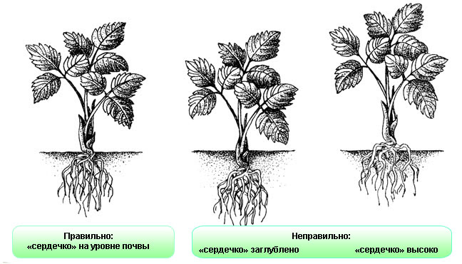 Правильная посадка клубники в почву