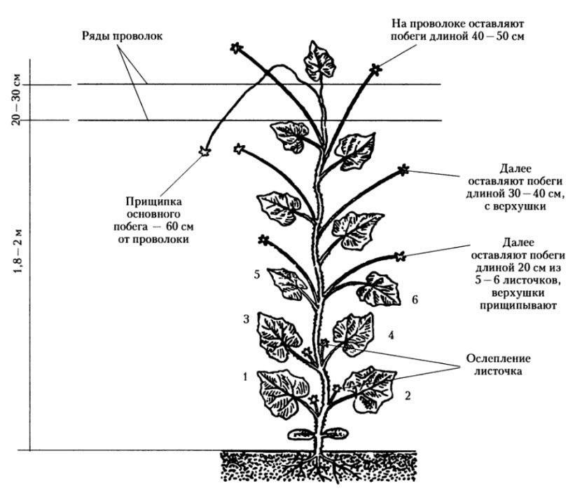Правила формирования огурцов в