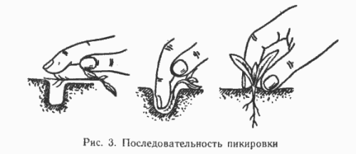 Схема пикировки сеянцев