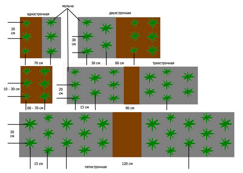 Схема посадки клубники в теплице рядами