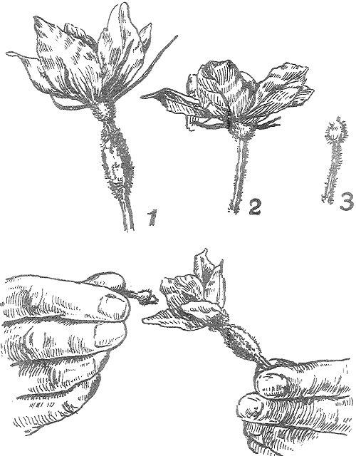 Схема ручного опыления теплицы