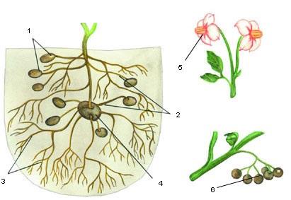 Строение картофеля: 1 – молодые клубни; 2 – столоны; 3 – корни; 4 – старый клубень; 5 – цветки; 6 – ягоды