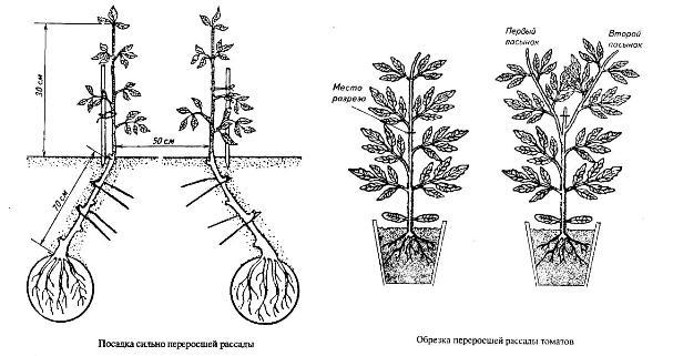 Высадка рассады томатов