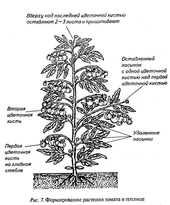 Схема формирования растения