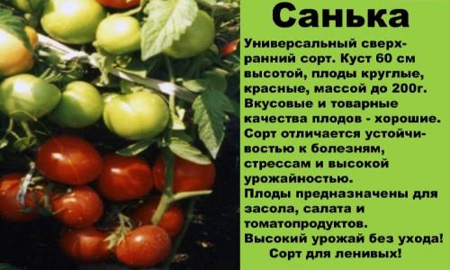 """Сорт томатов """"Санька"""""""