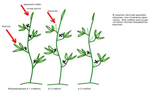 Схема правильного формирования куста томатов