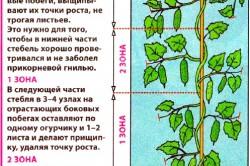 Схема формирования куста огурцов