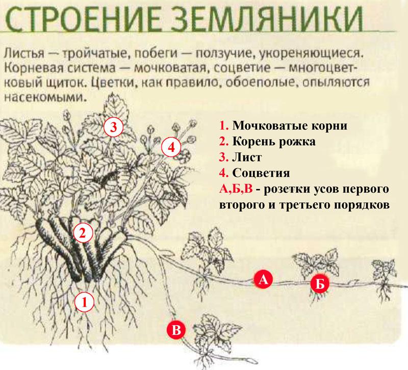Строение куста земляники/клубники