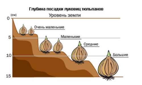 Уровень глубины  посадки тюльпанов