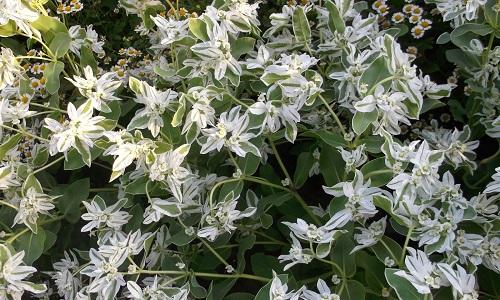 Невеста цветы садовые