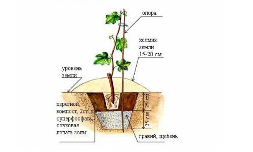 Схема посадки черенка винограда